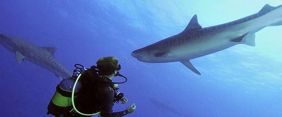 Nadar com tubarões: Saiba onde realizar essa aventura